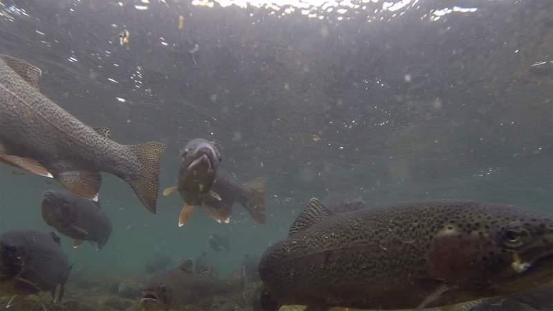 under_trout