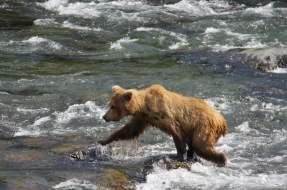 Bears at Brooks Falls in Katmai National Park Alaska