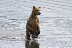 Looking for salmon at Katmai National Park