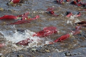 Sockeye Salmon charging up Mission Creek next to the lodge